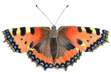 watercolor painting of a tortoiseshell butterfly